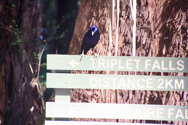 male Bower Bird on information sign