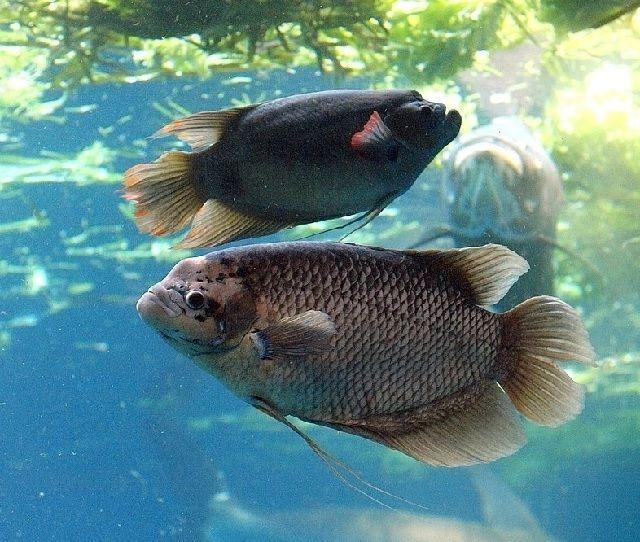 Mengenal Ikan Gurami Secara Detail Beserta Gambarnya