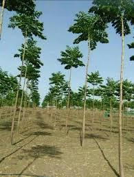 malabar neem plantation in rajasthan,malabar neem
