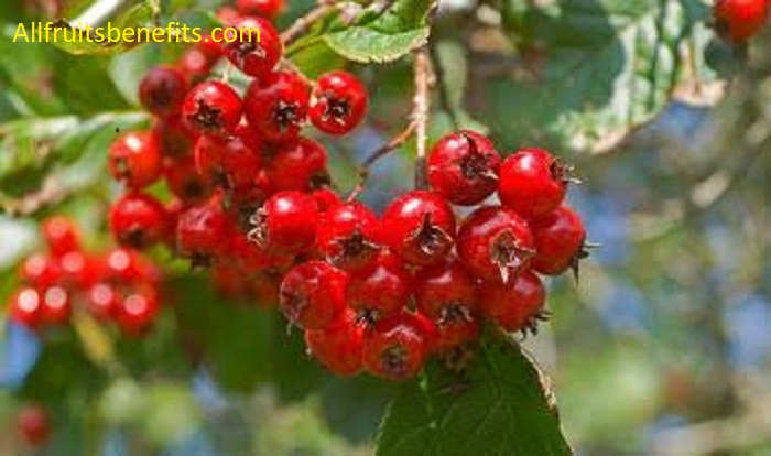hawthorn capsules benefits,hawthorn juice benefits,health benefits of hawthorn tea,hawthorn berry capsules benefits,hawthorn berry powder side effects,hawthorn berry extract health benefits,hawthorn leaf and flower benefits,hawthorn berry heart syrup benefits,hawthorn berry leaf and flower benefits,hawthorn berry tincture benefits,hawthorn medicinal benefits,hawthorn powder benefits,hawthorn syrup benefits,hawthorn berry syrup benefits,hawthorn herbal tea benefits,hawthorn flower benefits,hawthorn tea benefits and side effects,the benefits of hawthorn berry,hawthorn berry extract side effects,hawthorn berry tea side effects,dried hawthorn berries benefits,hawthorn extract benefits and side effects,hawthorn herb health benefits,hawthorn tea side effects,dried hawthorn benefits