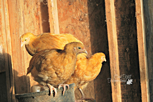 Young buff Orpington chicken pullets.
