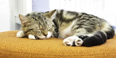 ¿Cuántas horas duerme un gato al día?