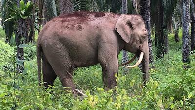 elefante con los colmillos invertidos en la selva