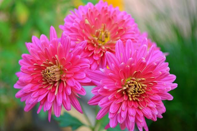 डहलिया के फूल