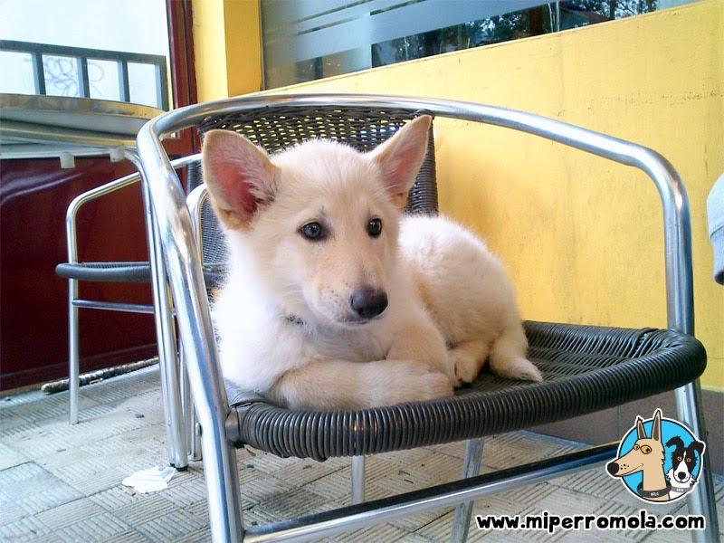 Can de Palleiro cachorro sentada en una silla metálica