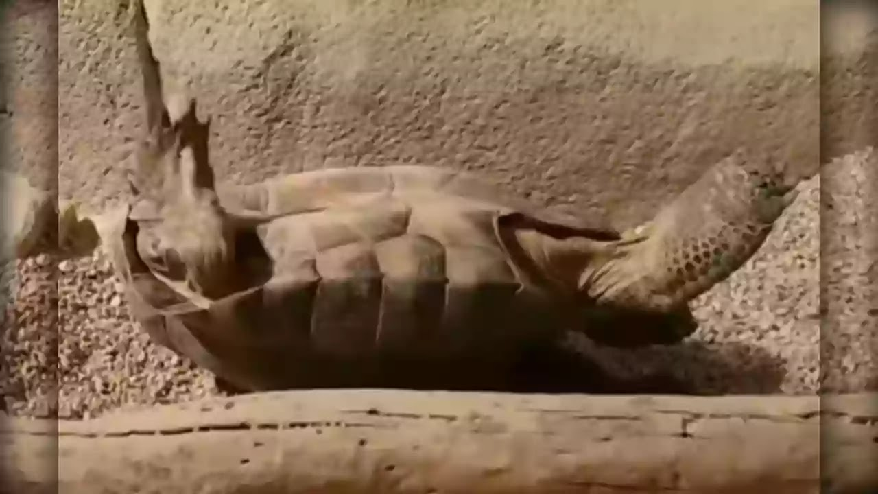 Sheep, Horse, Donkey, Turtle, Barasingha, Wild Boar   Five animals that die because of their own body parts   Turtle-die-because-of-own-body-parts