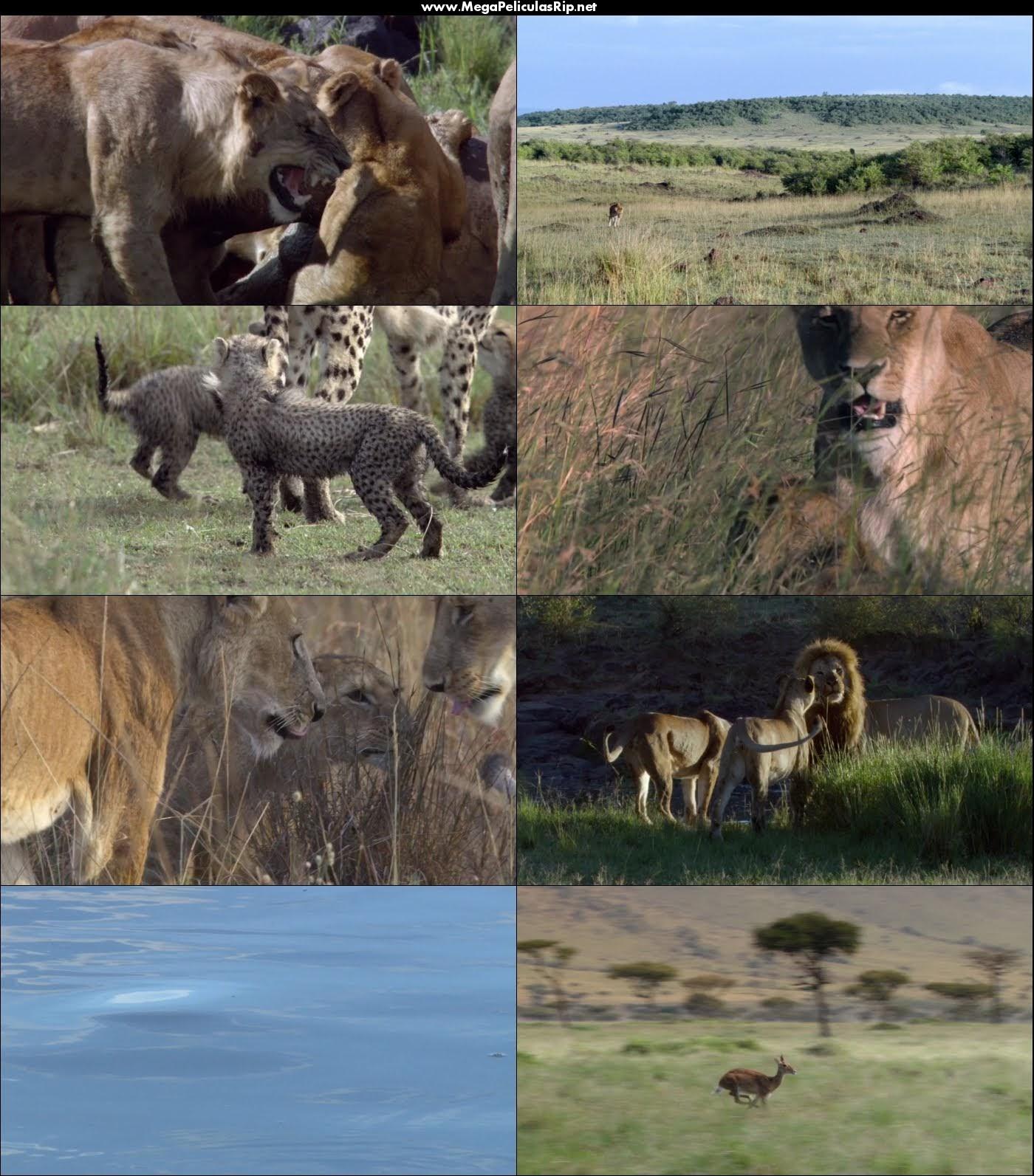 Felinos De Africa 1080p Latino