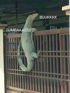 Kumpulan Foto Meme Biawak Viral 2019