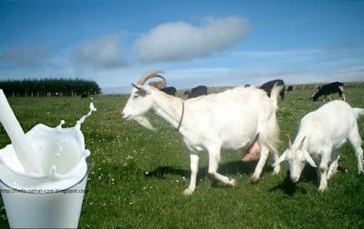 begitu bunyi klakson motor kakak penjual susu kambing kalau lewat di jalan depan rumah Manfaat Susu Kambing Untuk Kesehatan, Yg Alergi Susu Perlu Baca