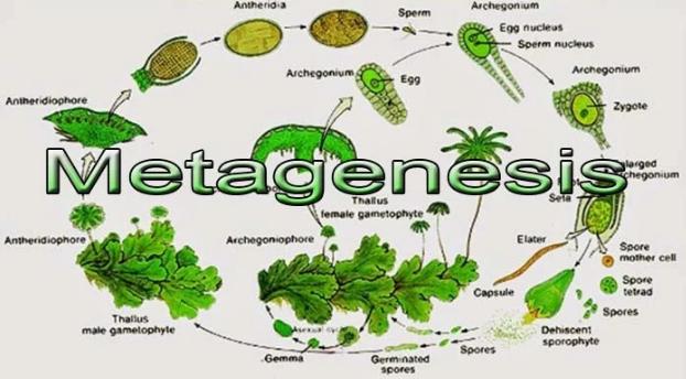 Pengertian Metagenesis, Metagenesis Pada Tumbuhan dan Hewan Beserta Penjelasan Lengkap