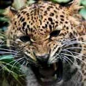 Mustika Macan Sakti Tembus Pandang