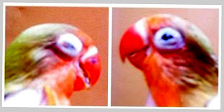 Penyebab burung terkena snot
