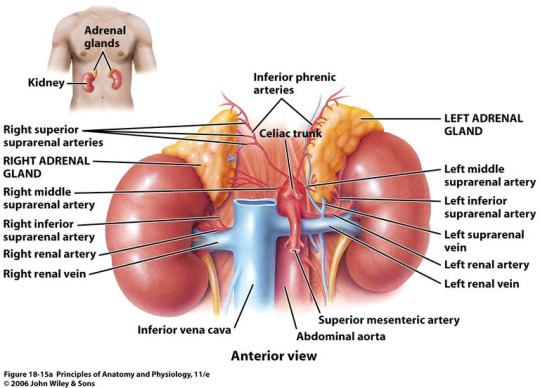 Medical And Health Science Anatomy Of The Adrenal Gland Responsible