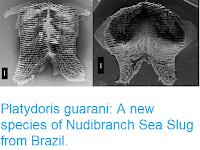 http://sciencythoughts.blogspot.com/2018/12/platydoris-guarani-new-species-of.html