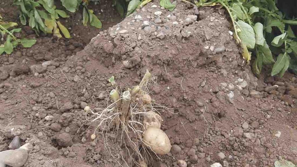 Podríamos Plantar Patatas En Marte Porque Si Llegarían A Crecer