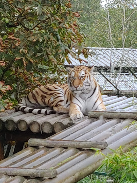Tiger at Paradise Wildlife Park, Herts, UK