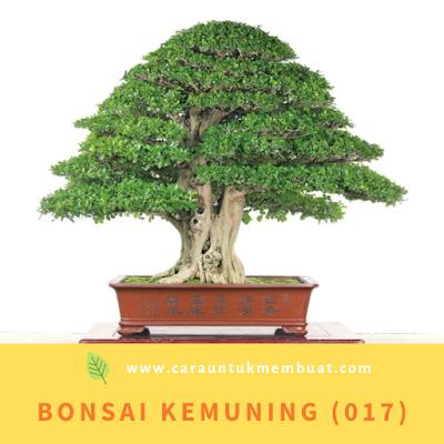 Bonsai Kemuning (017)