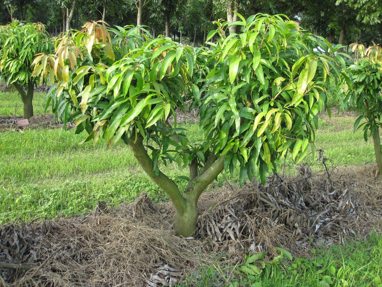 Estudiando agricultura en taiw n arquitectura de rboles - Como se podan los arboles frutales ...