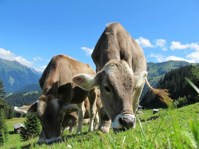 MUCCHE-AGRITURISMO-VAL-PUSTERIA