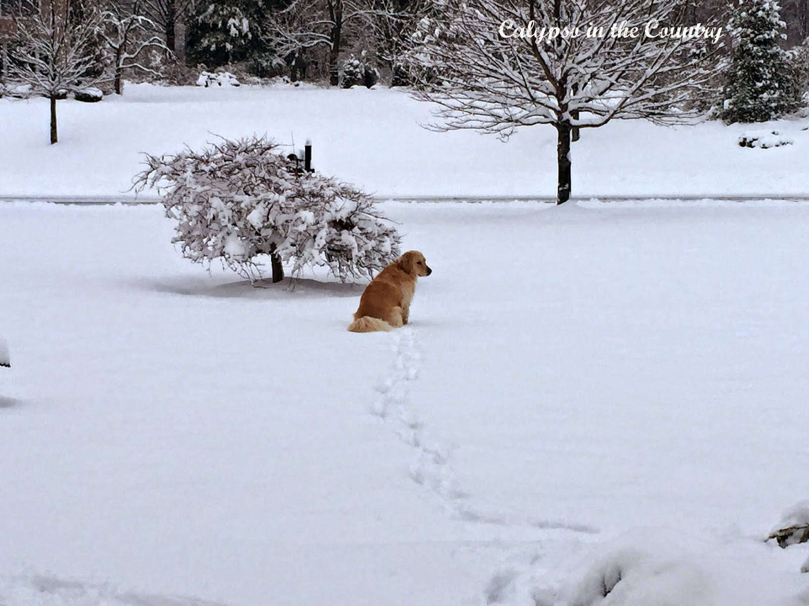 Golden retriever in the snow