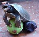 Penis Schildkröte