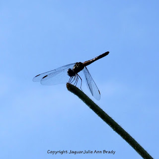 Dance of the Dragonfly step 1