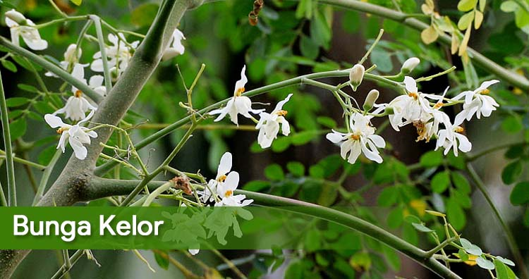 Mengobati Sakit Tenggorokan Dengan Air Bunga Kelor