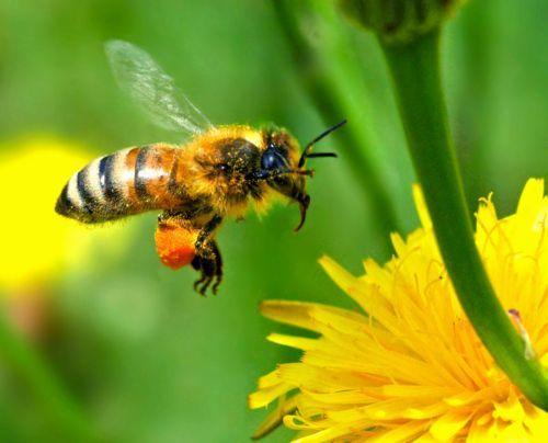 Пчелопакеты в Омске - изображение 1.
