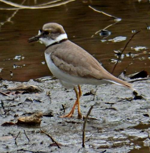 Indian birds - Image of Long-billed plover - Charadrius placidus