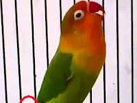 Ciri-ciri Lovebird Bermental Fighter Yang Wajib Anda Ketahui