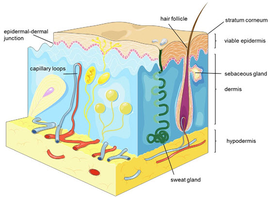 Schematic depiction of the different skin layers