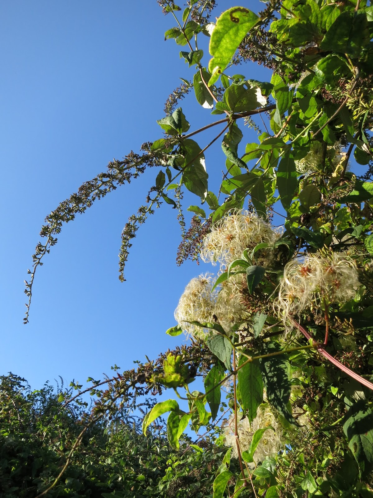 Buddleia flowers die and Old Man's Beard catches the eye