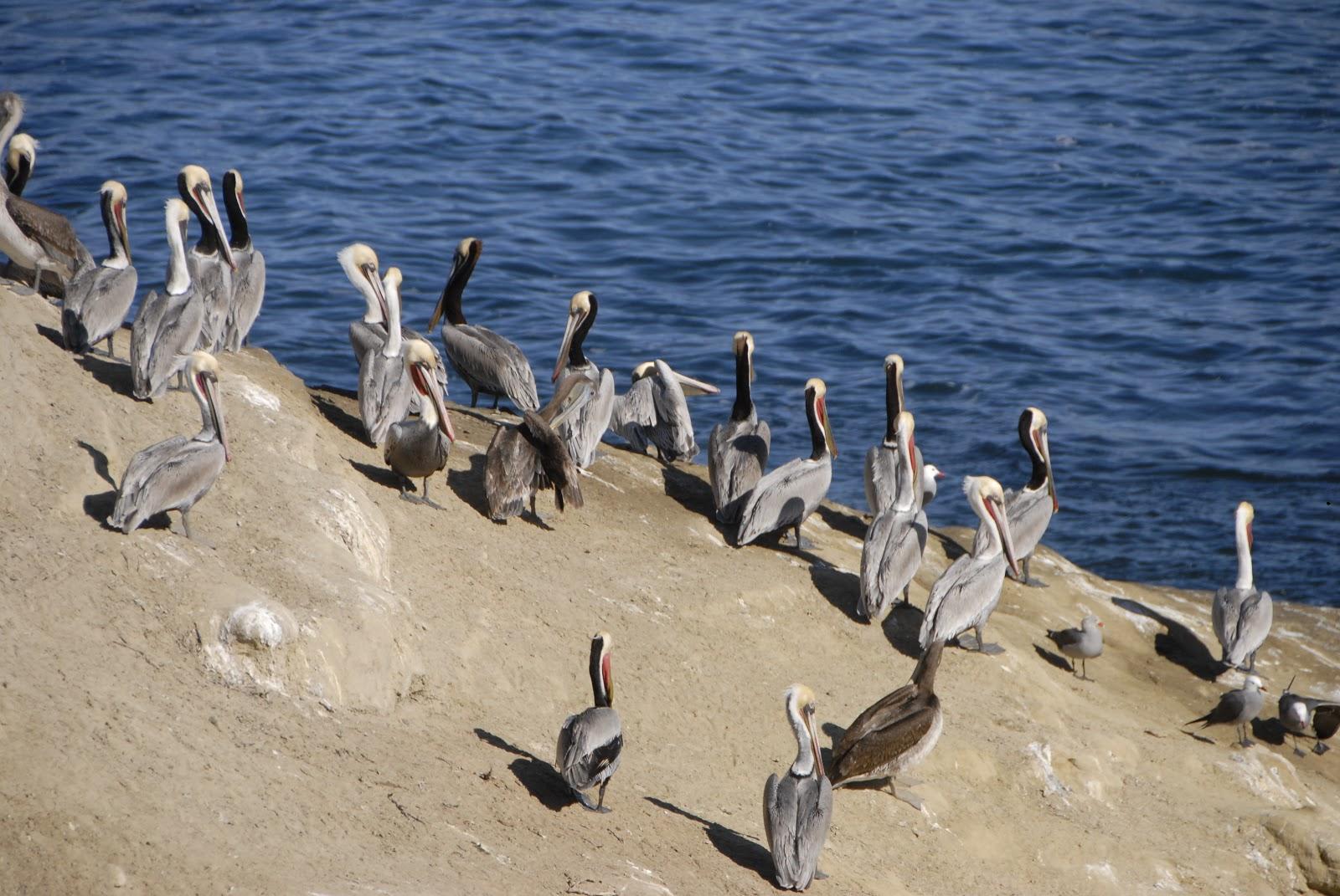 Gathering of birds at La Jolla shores