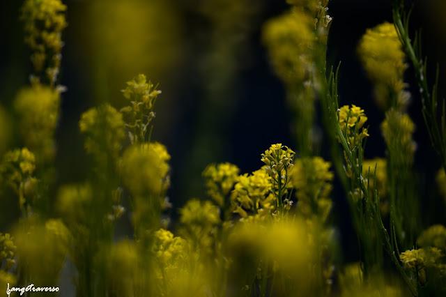 flore des Alpes, nature, flowers, fleurs, fleur des alpes, chou des montagnes