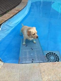 cães na piscina