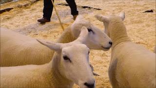 Lleyn Sheep Disadvantages, Advantages, Wool Quality, Price