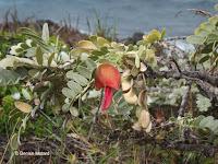 Ohai red flower - Kaena Point Natural Area Reserve, Oahu, HI