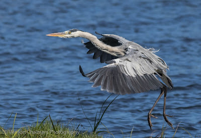 Grey heron landing - Table Bay Nature Reserve / Woodbridge Island - Copyright Vernon Chalmers