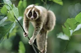 Mengenal dan Melestarikan Kukang Binatang Yang Hampir Punah Di Hutan Tropis Indonesia