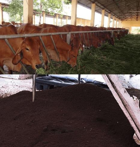 1 con bò nuôi 10m2 trùn quế