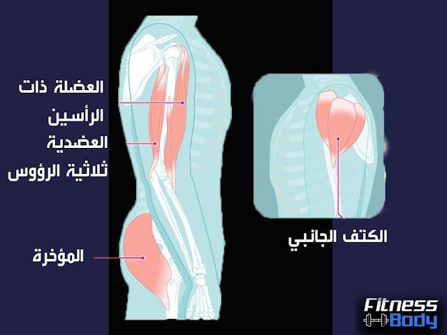 عضلات الأطراف العلوية