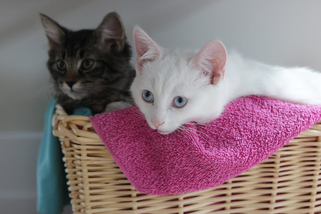introducing two kittens from different litters