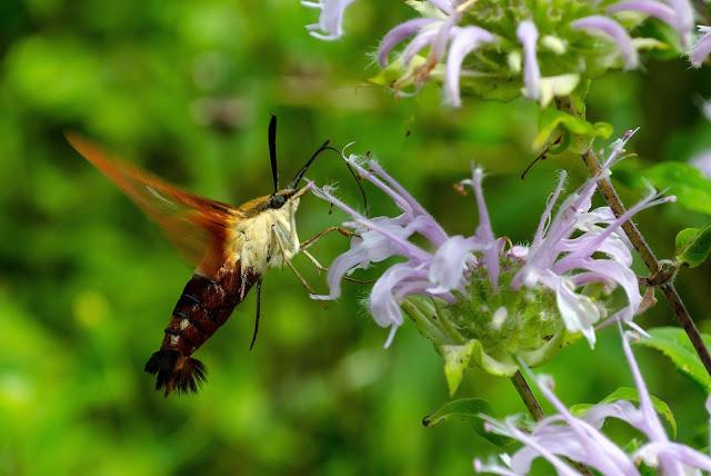 Hummingbird Clearwing, Hemaris thysbe