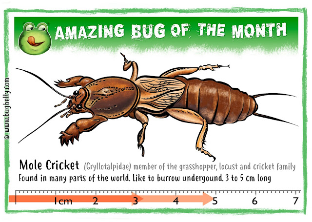 illustration of a Mole Cricket on bugbelly.com