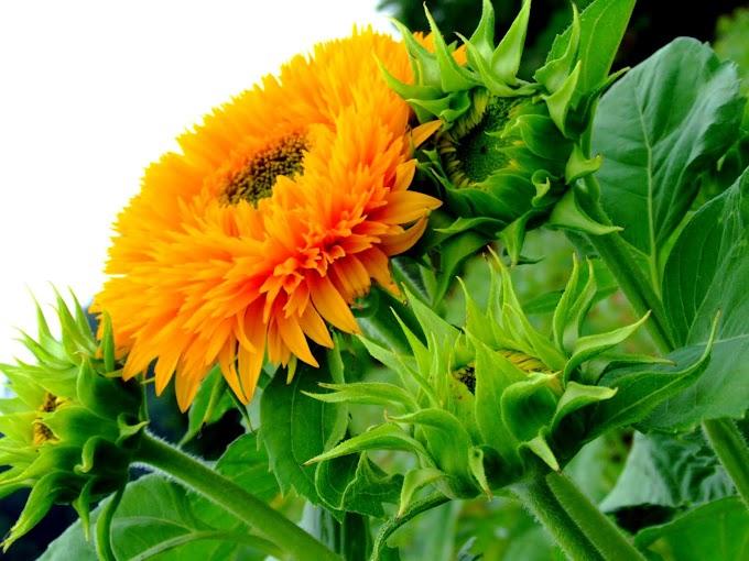 193 #ヒマワリ #花 #向日葵 #黄色 #東北八重
