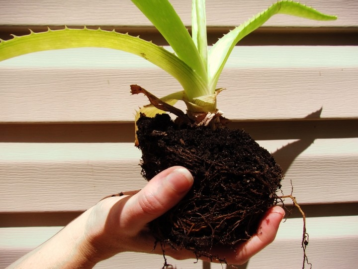 A Woman Holding a Medium-sized Aloe Vera Plant in the Palm of her hand with rich, miracle grow soil
