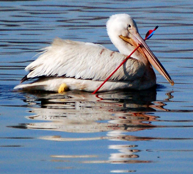 Pelican facts, information and pictures 9