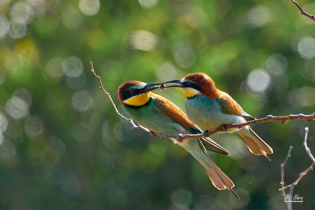 Bee-Eater Kiss