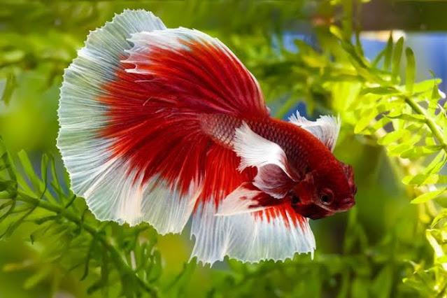 Wajib Tahu! 6 Ciri Ikan Cupang yang Sehat Sebelum Membelinya