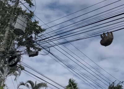 a sloth hanging upside down on electrical wires
